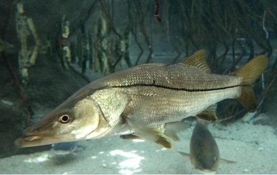 Fishing in cuba sea fishing equipment fishing tactics for Fishing for snook